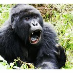 Silverback of the TITUS group of Gorillas