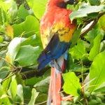 Scarlet Macaw at Agua Dulce Beach Resort
