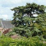 Le cèdre du parc du Clos, vu de l'abbaye.