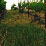 Vineyard trail on property