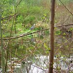 Marsh - blue heron?