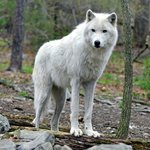 Arctic Wolf photo by Dale Buchbinder