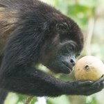 Monkey Inspecting Fruit!