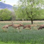 Irish Red Deer at Killarney National Park