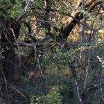 Beautifully camoflaged - Kudu