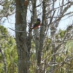 Painted Bunting on the marsh