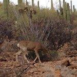 Oh Deer!  (Along Hidden Canyon Trail)