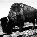 Buffalo Habitat