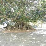 Árvore Gomero, Ricoleta