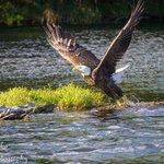many eagles on the lake