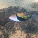 Hawaiian Trigger Fish (humahumanukanukaapuaa)