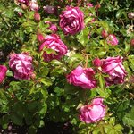One of my favourite roses in the garden