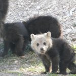 Grisly Cub 10 miles north of Old Faithful