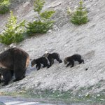 Grisly Family North of Old Faithful