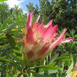 A rare flowering protea in March