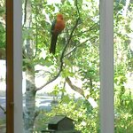 King parrot viewed from within the Fleurbaix Cottage sunroom