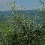 Olivträd i förgrunden och landskapet Toscana i bakgrunden