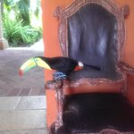 Monsieur le resident toucan who might visit during breakfast