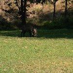 warthog in camp @ idube