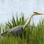Hungry heron at lower hide