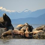 Sea Lions, with the North Shore Mountains in the background