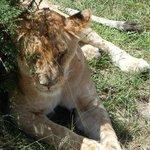leonessa all'ombra