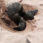 ラニアケアビーチでのホヌの甲羅干し