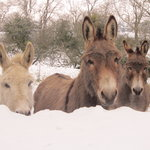 Resident donkeys in the snow
