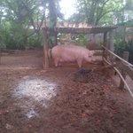 Lola the pig