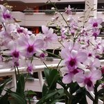 Orchids at Club level
