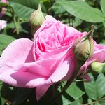 roses du parc de Reillanne