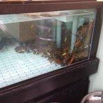 lagostas frescas