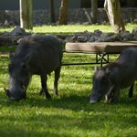 Friendly warthogs 'mow' the lawn