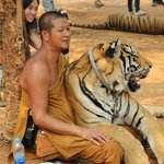 A tiger relaxing with a monk.