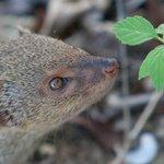 Mongoose at Yepton Estates
