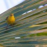 Yellow Warbler at Yepton Estates