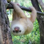 Tito the baby sloth