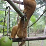 A kinkajou with the toy we made for them