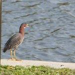 Green Heron at Yepton Estates Lagoon