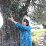 Sampling olives from the tree