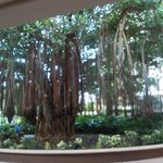 Gus the Banyan tree