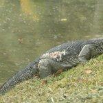Huge monitor lizard behind the hotel
