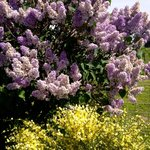 Lilacs near the pastures