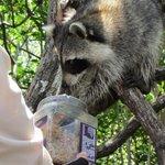 Raccoon Feeding
