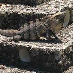 ah can you say iguana