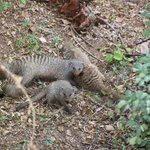 Mongoose at Safari Lodge