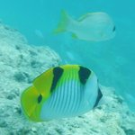 Beautiful tropical fish -Chaaya Dhonveli