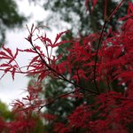 Beautiful colours of an Acer