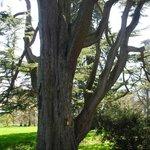 2000 year old Cedar tree
