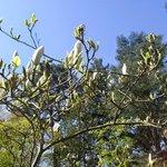 Magnolia blossoming